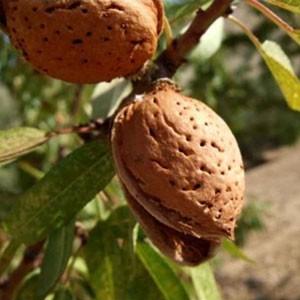 Achat AMANDIER - Prunus amygdalus 'Marcona m233'