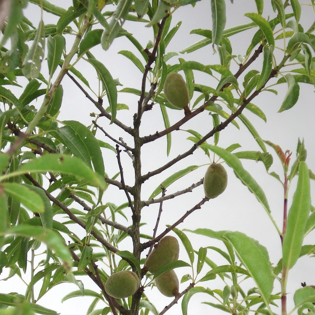 Achat AMANDIER - Prunus amygdalus 'Princess m133'