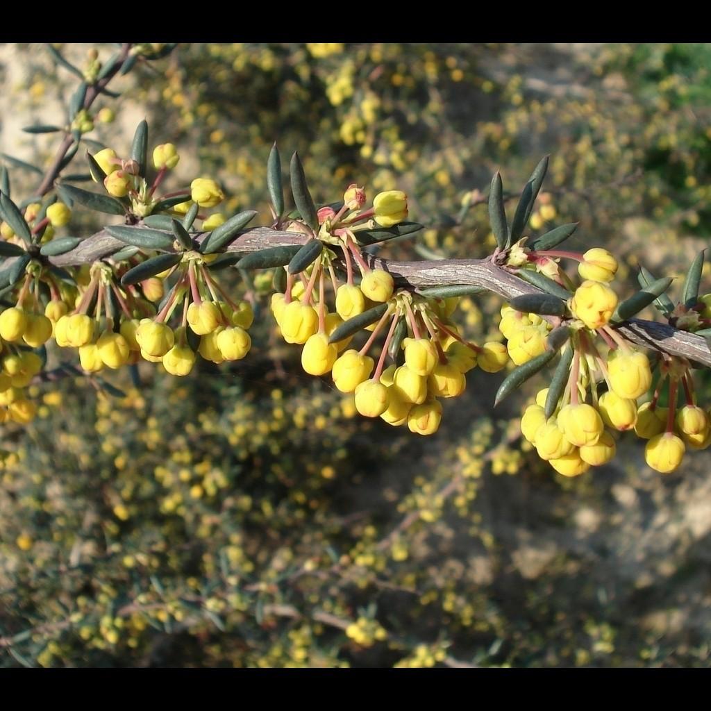 Achat Berberis x stenophylla
