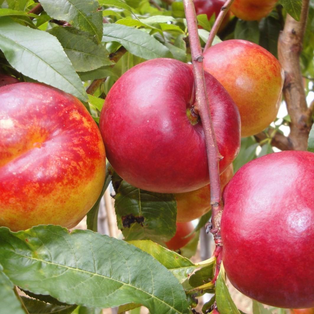 Achat BRUGNON - Prunus persica var. nucipersica 'Nectared 4'