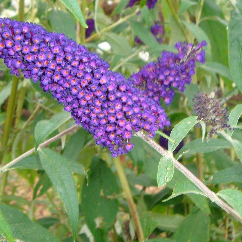 Achat Arbre aux papillons