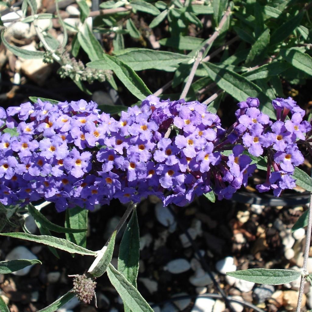 Achat Arbre aux papillons nain 'Nanho blue'