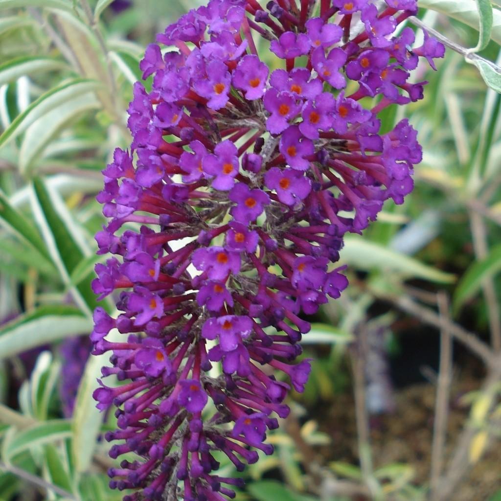 Achat Arbre aux papillons nain 'Nanho purple'