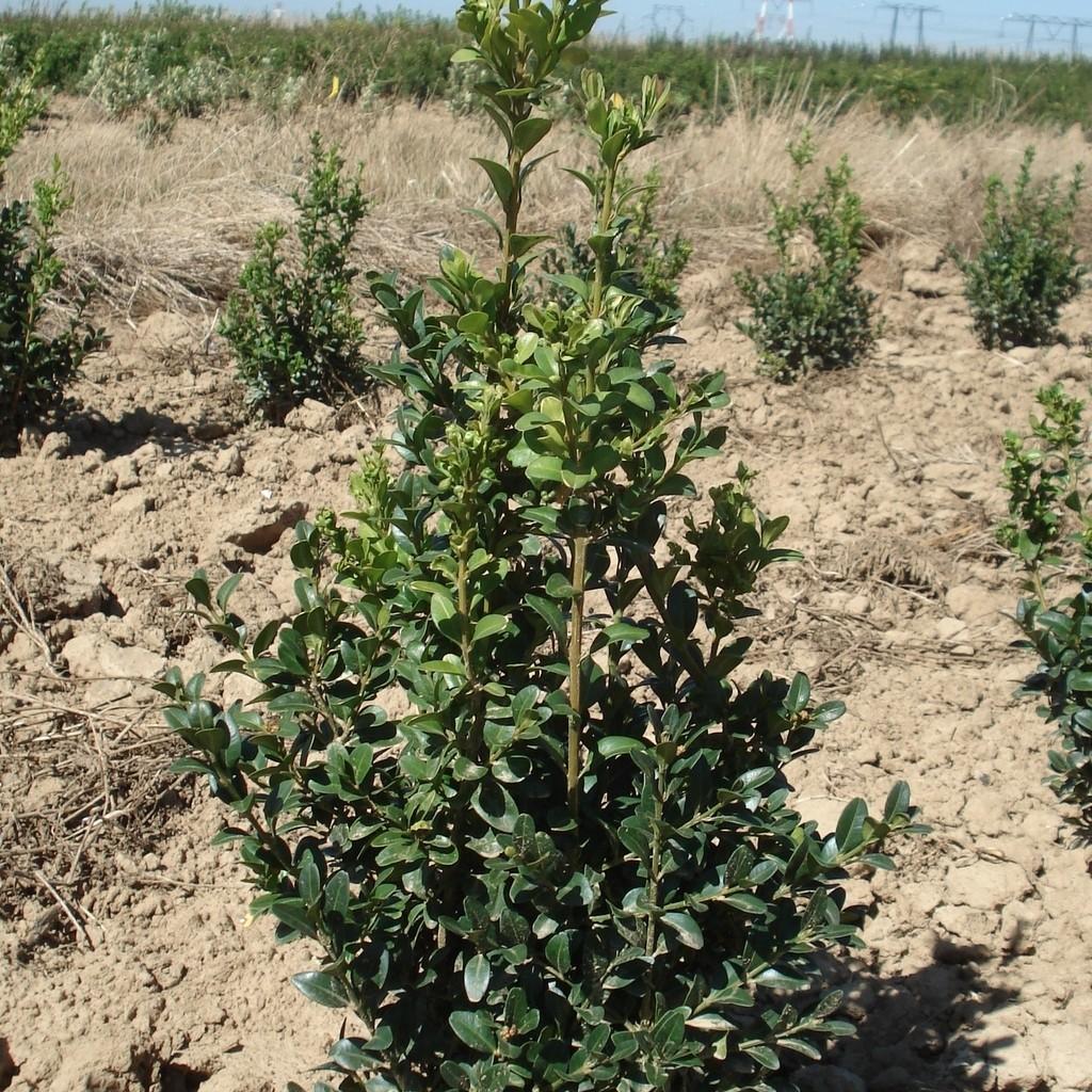Achat Buis 'Arborescens'