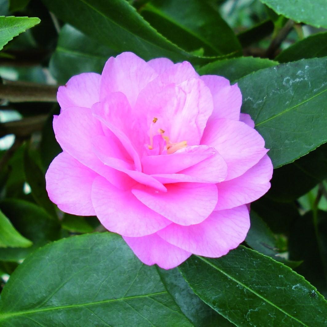 Achat Camelia rose
