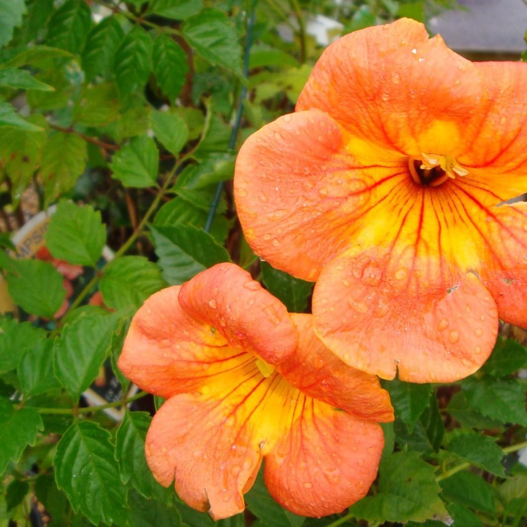 Vente de bignone orange p pini res chatelain - Plante fleurie grimpante ...