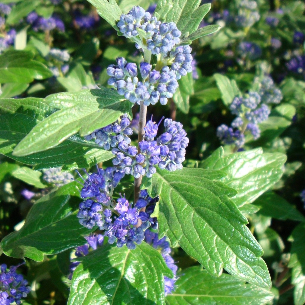 Achat Caryopteris 'Grand bleu'
