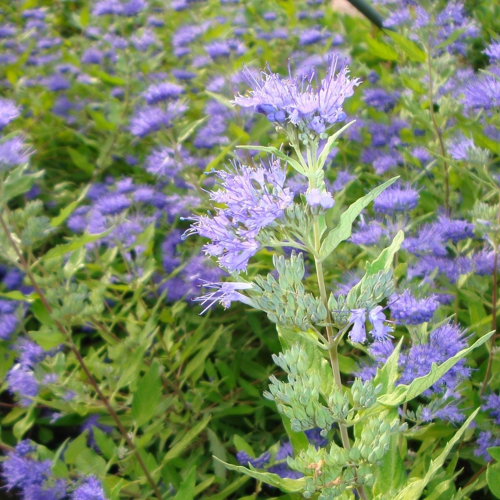 Achat Caryopteris 'Worcester gold'