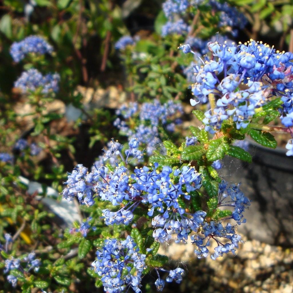 Achat Céanothe 'Puget blue'
