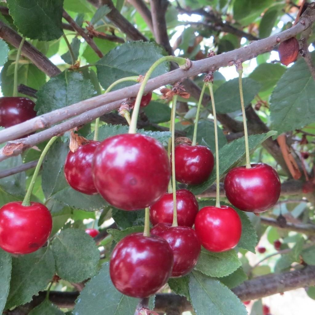 Achat CERISIER - Prunus cerasus - griotte 'Griotte du Nord'