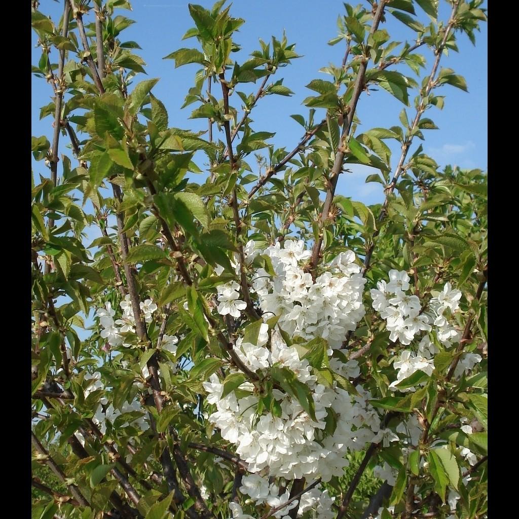 Achat CERISIER - Prunus avium - bigarreau 'Hatif de burlat'