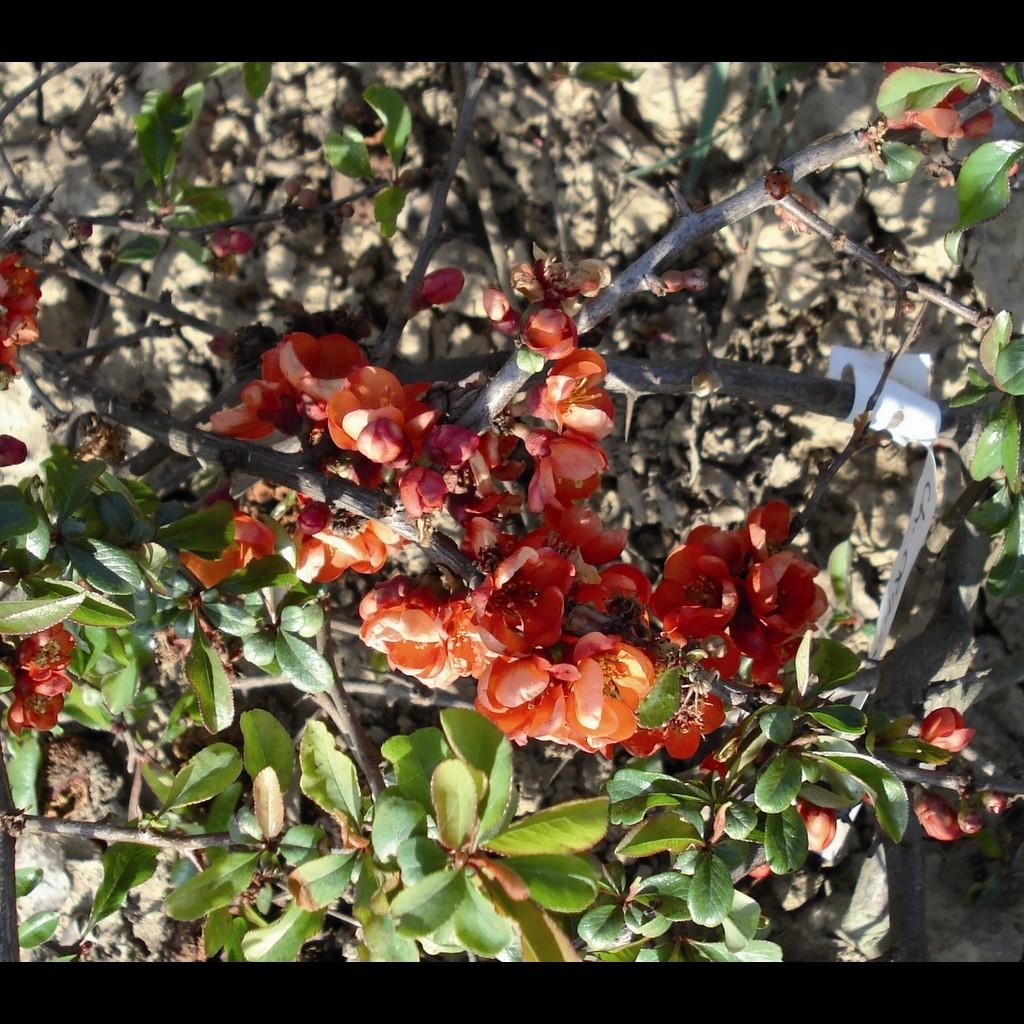 Achat Cognassier du Japon rouge