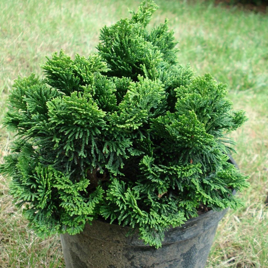 Achat Chamaecyparis ob.Nana gracilis