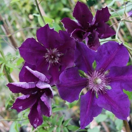 Achat Clématite à fleurs mauves