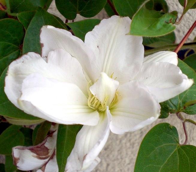 Achat Clématite à fleurs blanches