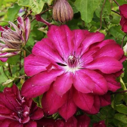 Achat Clématite caduque à fleurs roses
