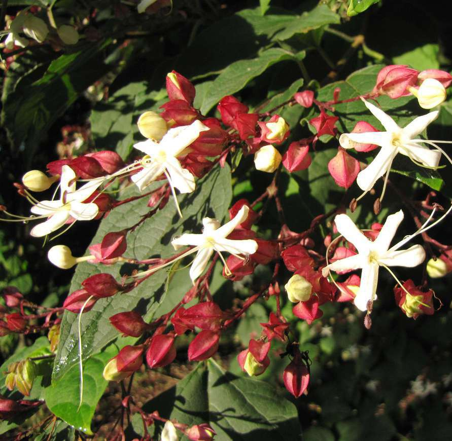 Achat Clerodendron 'Fargesii'