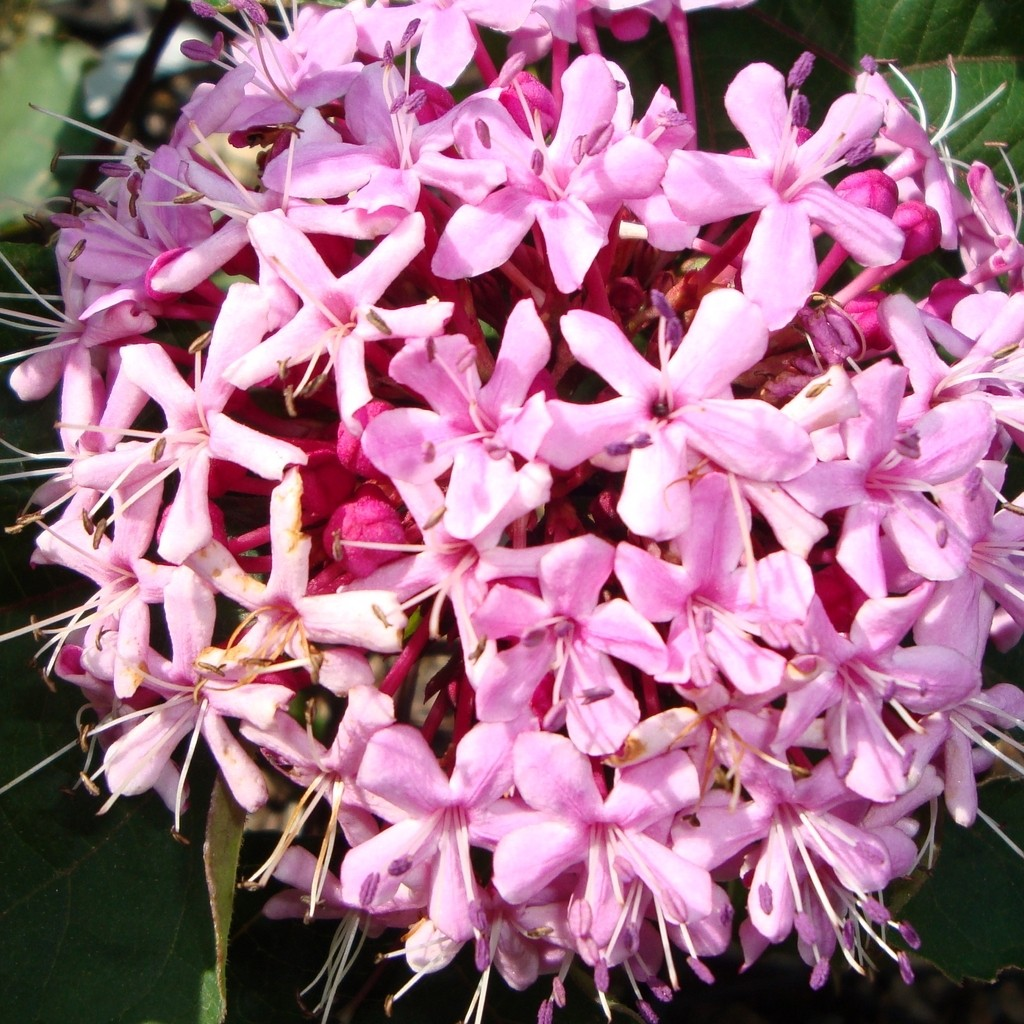 Achat Clerodendron