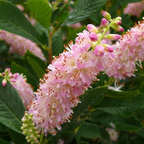 Achat Clethra 'Pink Fire'