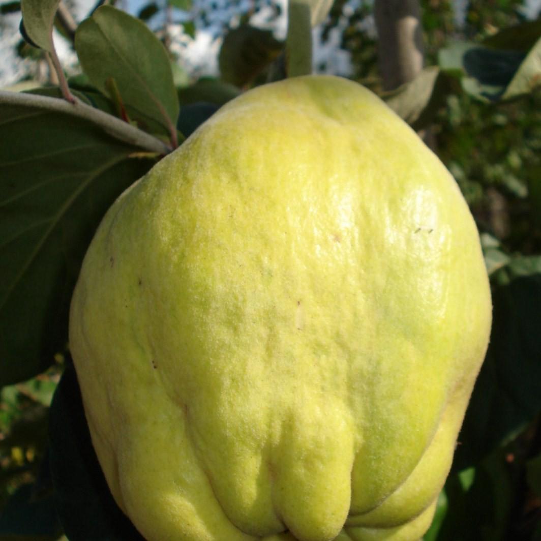 Achat COGNASSIER - Cydonia oblonga 'Geant de vranja'