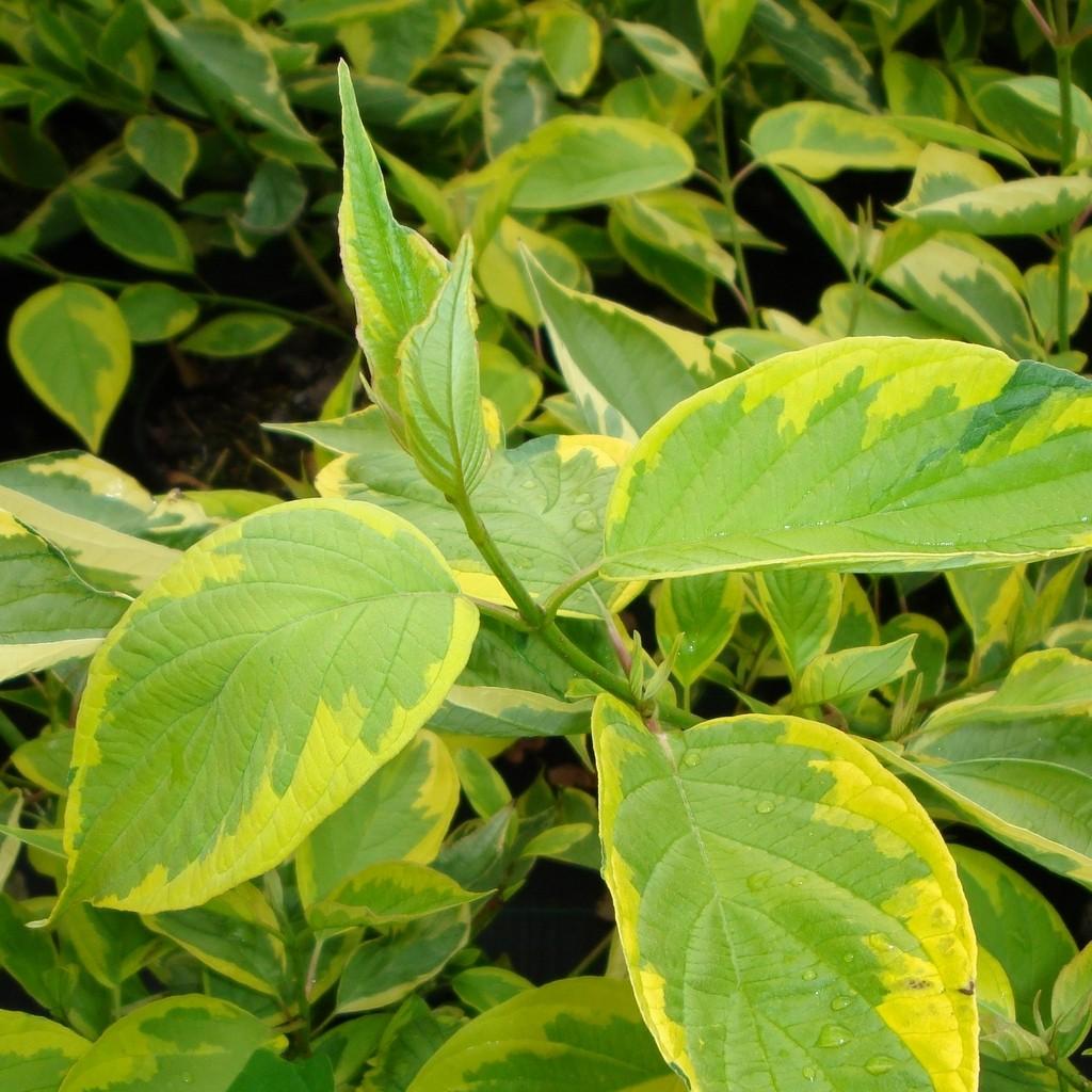 Achat Cornouiller panaché jaune