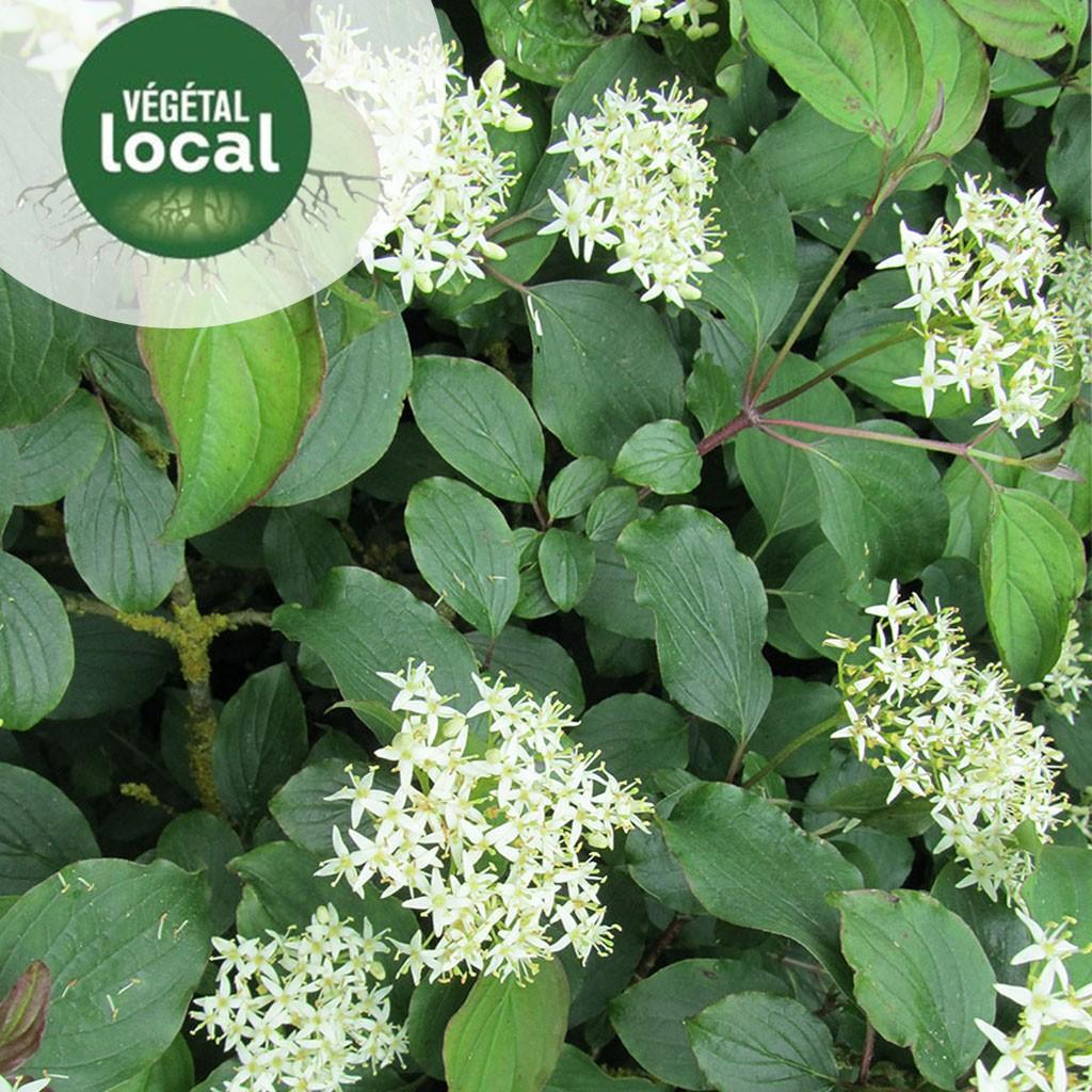 Achat Cornus-sanguinea-vegetal-local