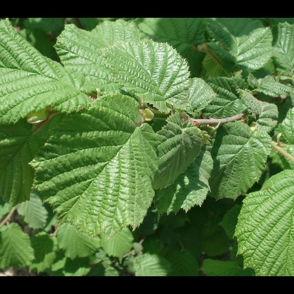 Achat Noisetier vert