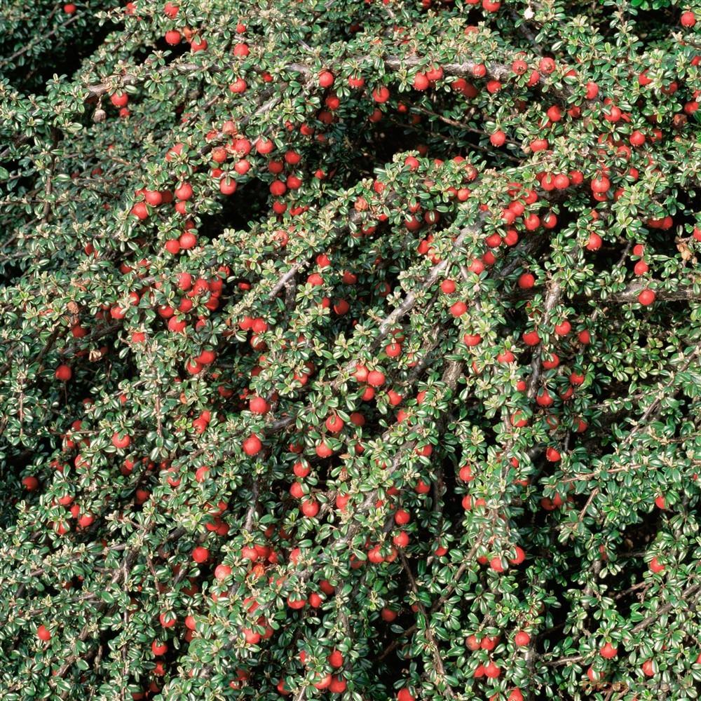 Achat Cotoneaster mycrophyllus