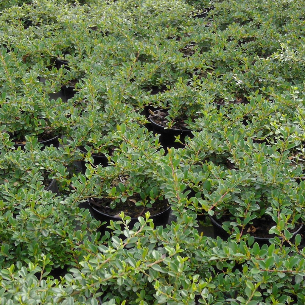 Achat Cotoneaster radicans