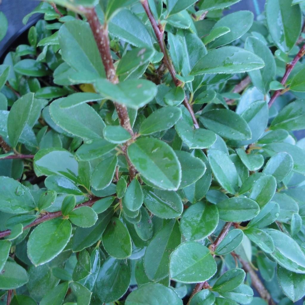 Achat Cotoneaster 'Eicholtz'