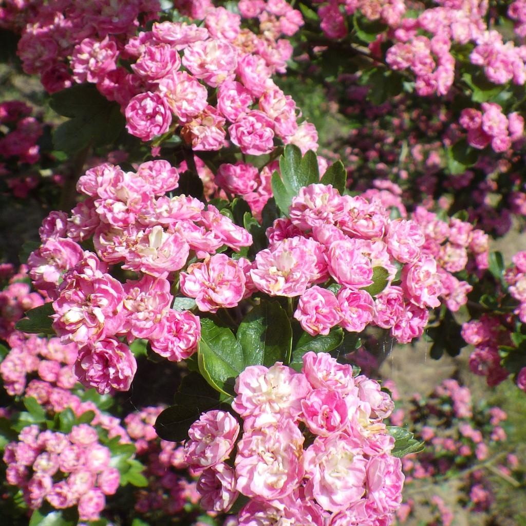 Achat Aubépine rose