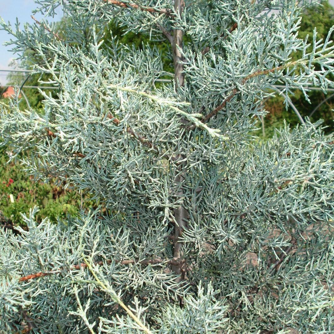 Achat Cyprès bleu de l'Arizona fastigié