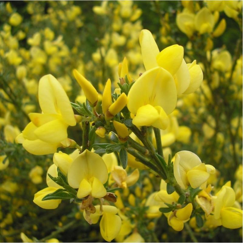 Achat Genêt à balai jaune