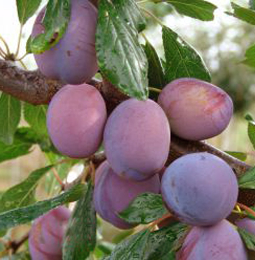 Achat PRUNIER - Prunus domestica 'Damas violet'