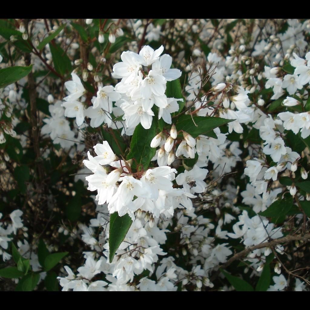 Achat Deutzia gracilis