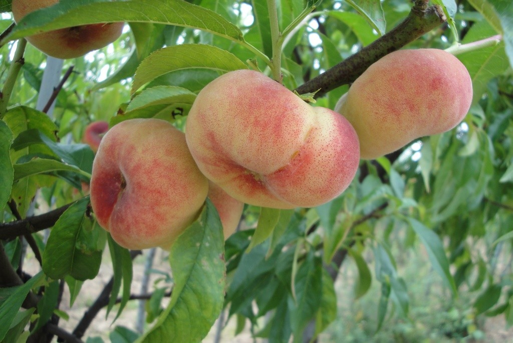 Achat PECHER - Prunus persica 'Saturne baïlou'