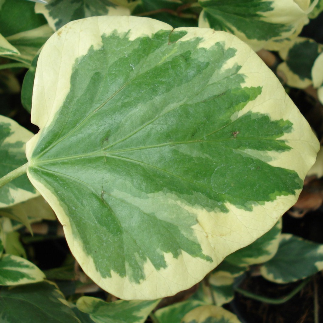 Achat Lierre à feuilles bordées de jaune