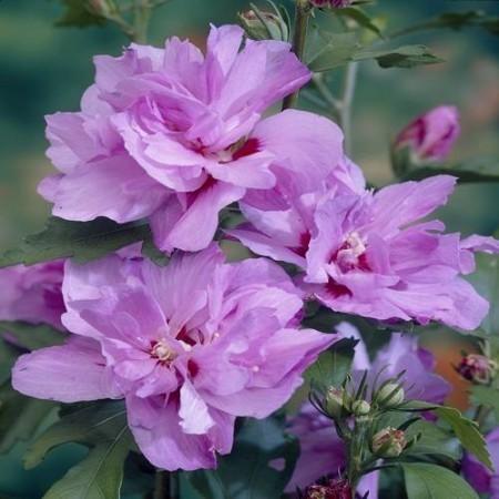 Achat Althea à fleurs doubles rouges