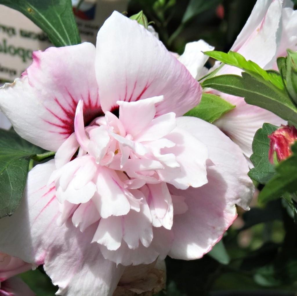 Achat Althea à fleur double rose clair et rouge