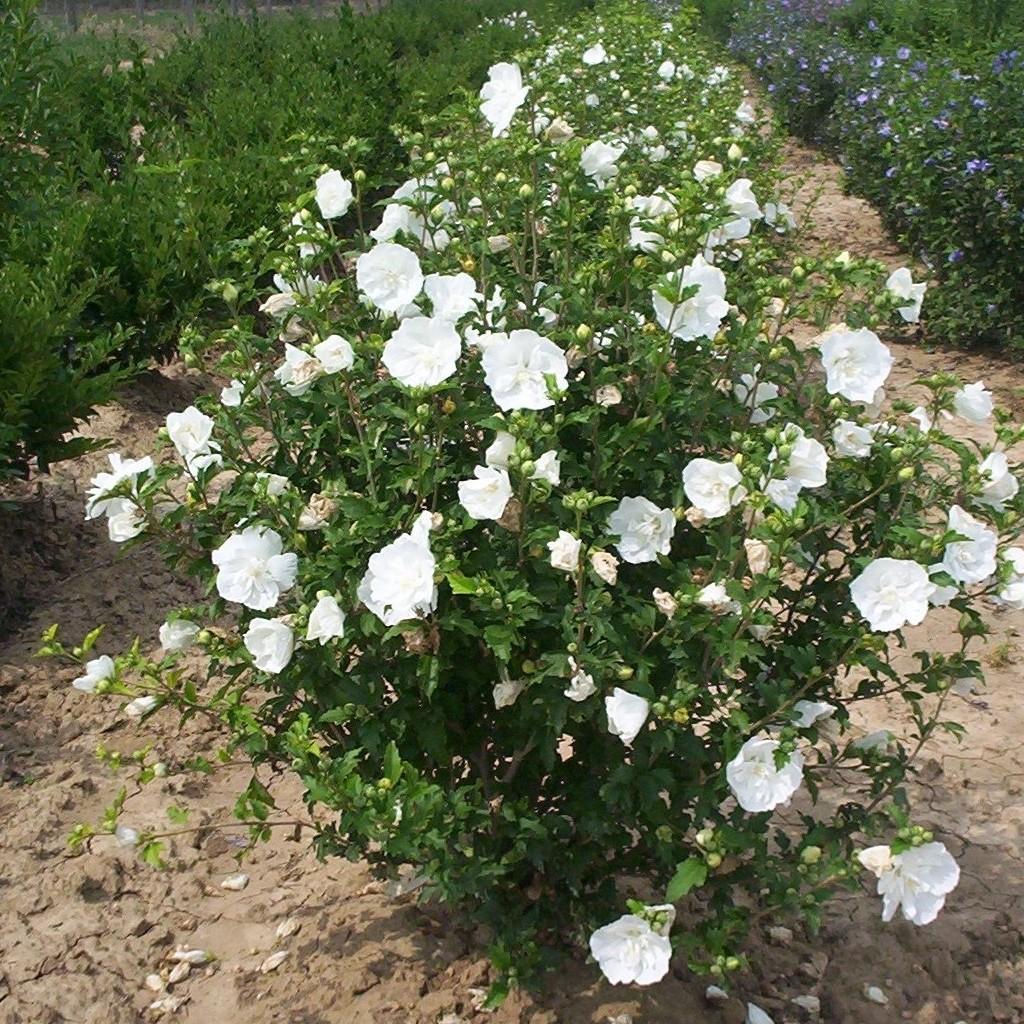 Achat Althea à fleur double blanc