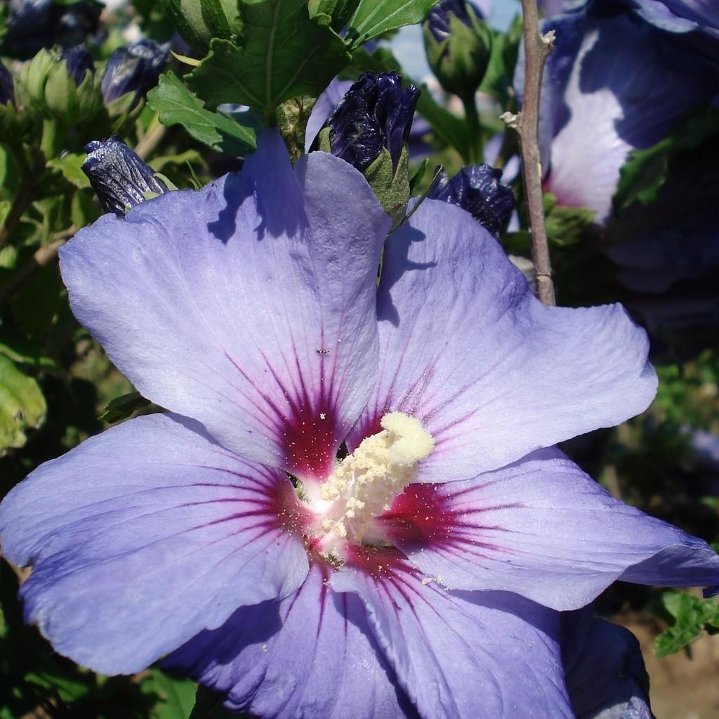 Achat Althea bleu