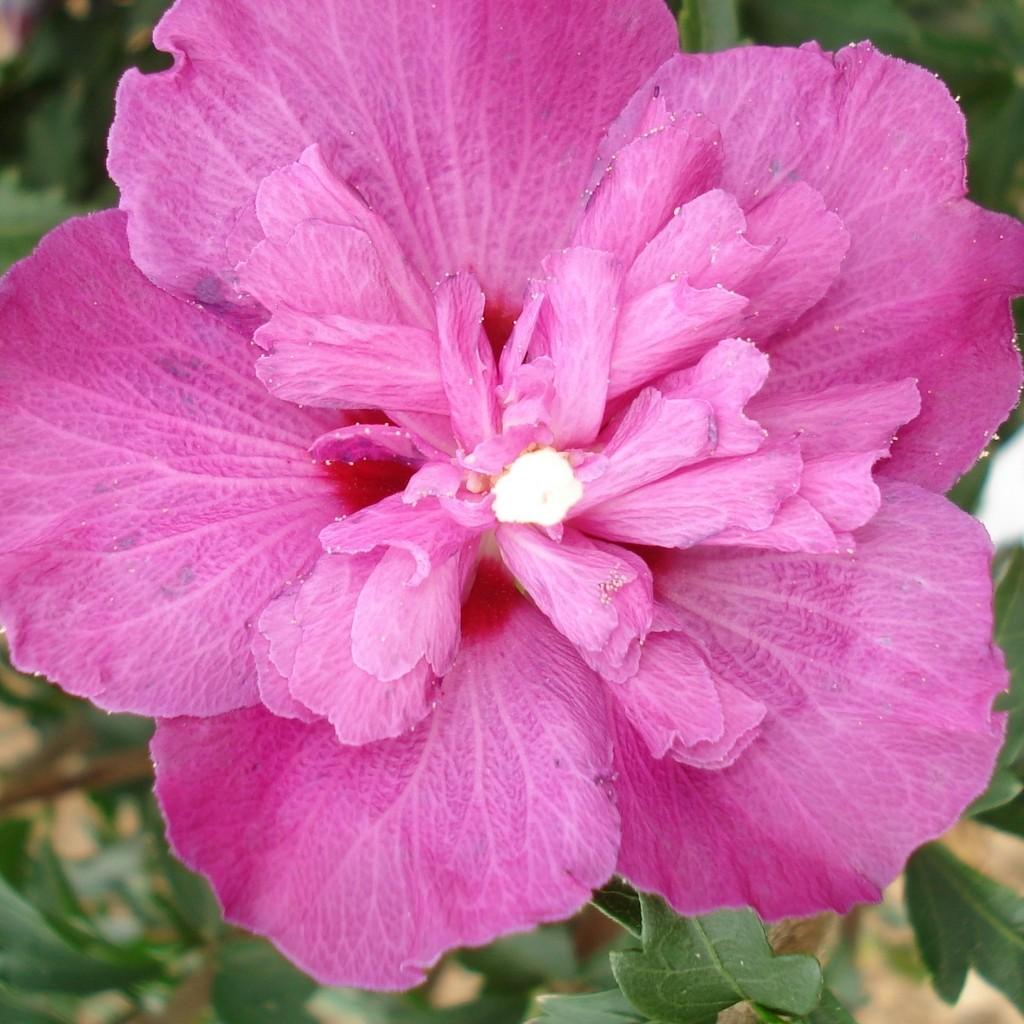 Achat Althea à fleurs doubles rose foncé