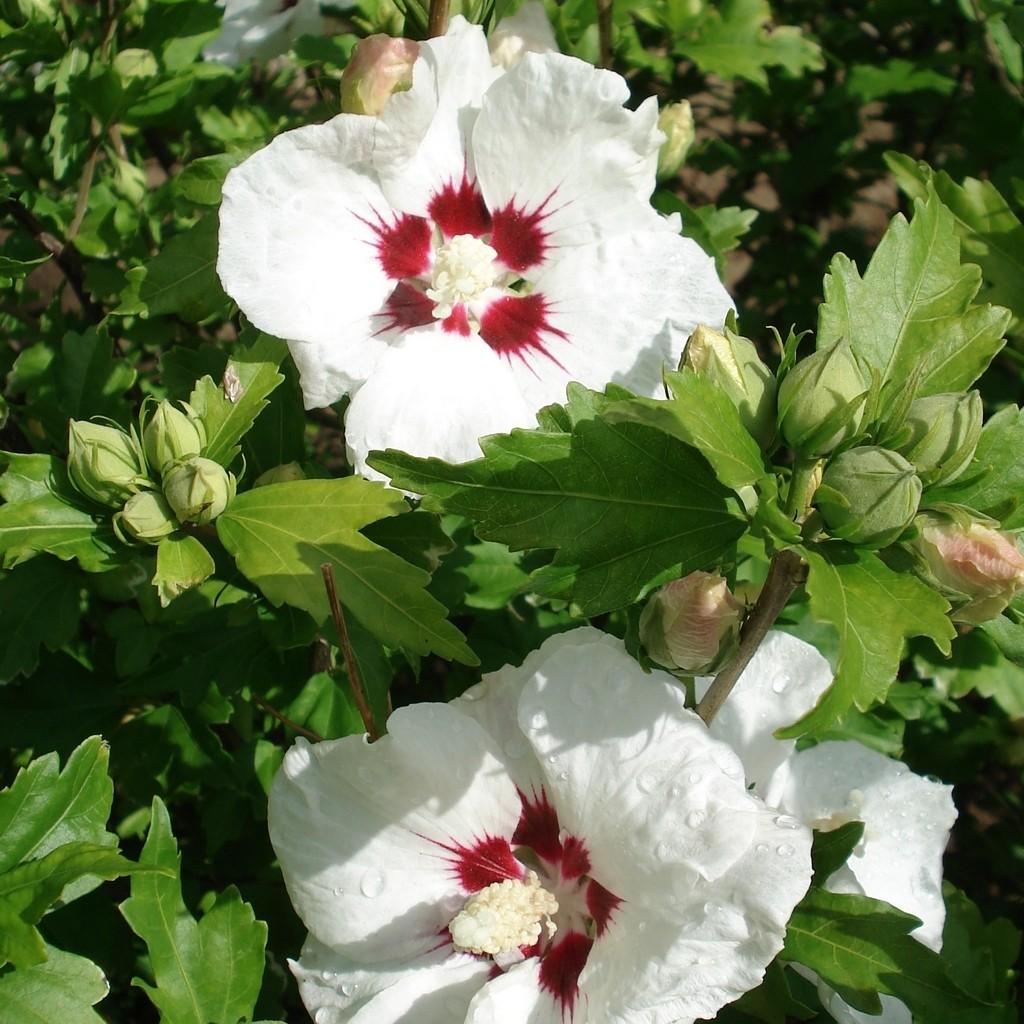 Achat Althea blanc et rouge