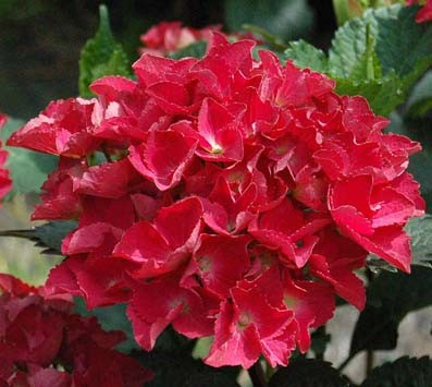 Achat Hortensia rouge