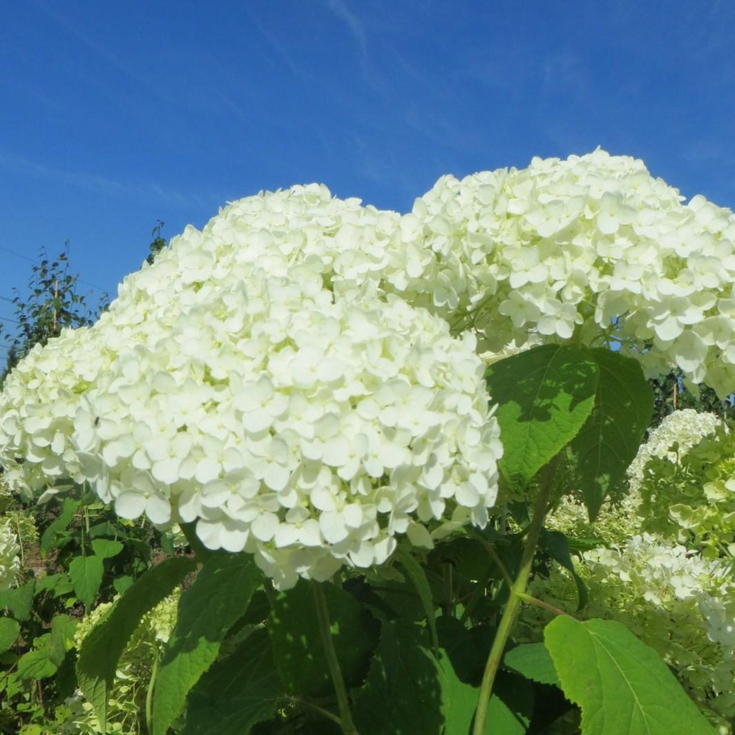Achat hortensia arbustif