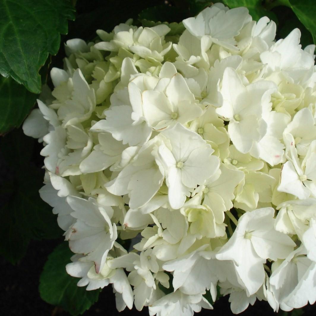 Achat Hortensia blanc