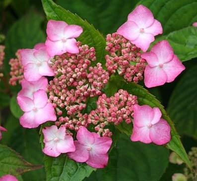 Achat Hortensia serrata