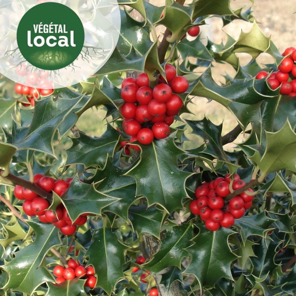 Achat Ilex-aquifolium-2