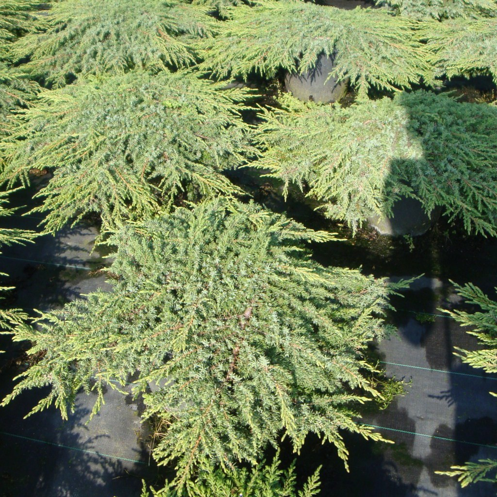 Achat Juniperus communis Green Carpet