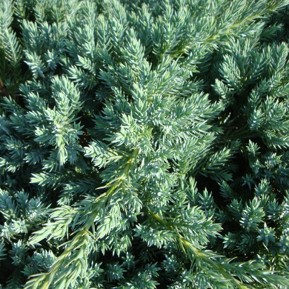 Achat Juniperus Blue carpet